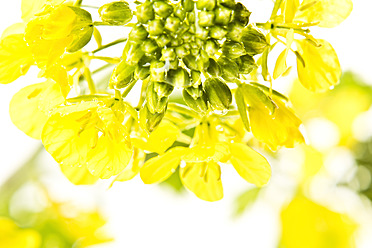 Close up of rapeseed against wihte background - MAEF005178