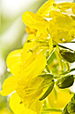 Close up of rapeseed - MAEF005181