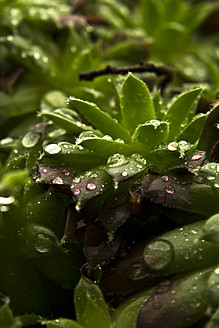 Close up of dewdrops on green succulent plants - MAEF005185