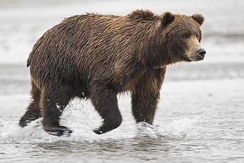USA, Alaska, Brown bear in Silver salmon creek at Lake Clark National Park and Preserve - FOF004336