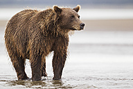 USA, Alaska, Brown bear in Silver salmon creek at Lake Clark National Park and Preserve - FOF004341