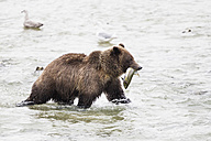 USA, Alasaka, Brown bear in Chilkoot Lake with caught salmon - FOF004318