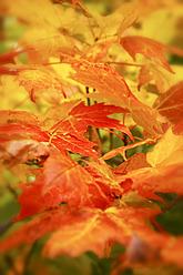 USA, Close up of autumn leaves - SMAF000021