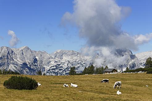 Austria, Upper Austria, Cows grazing grass at Totes Gebirge Mountains - SIEF002976