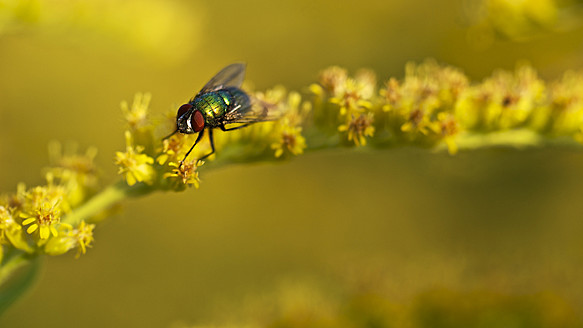 Germany, Hesse, Fly on goldenrod - MHF000016