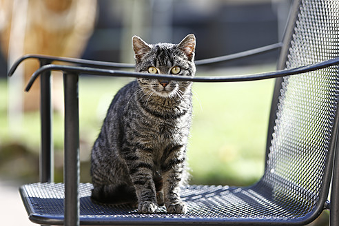 Germany, Heidelberg, Domestic cat sitting on chair - MAEF005267