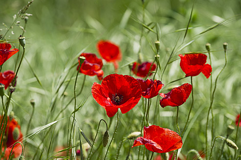 Italy, View of poppy flowers - MIRF000508