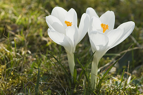 Germany, Close up of white crocus - CRF002217