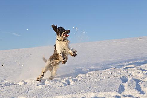 Germany, Bavaria, English Springer Spaniel playing in snow - MAEF005439
