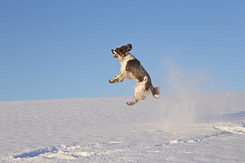 Germany, Bavaria, English Springer Spaniel playing in snow - MAEF005443