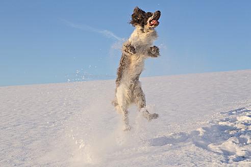 Germany, Bavaria, English Springer Spaniel playing in snow - MAEF005445
