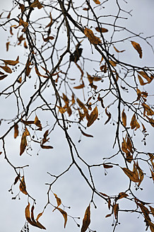 Germany, Bavaria, Withered lime tree against sky - AXF000411