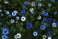 Germany, Nigella Damascena flower, close up - TCF003183