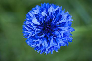 Germany, Bluebottle flower, close up - TCF003193