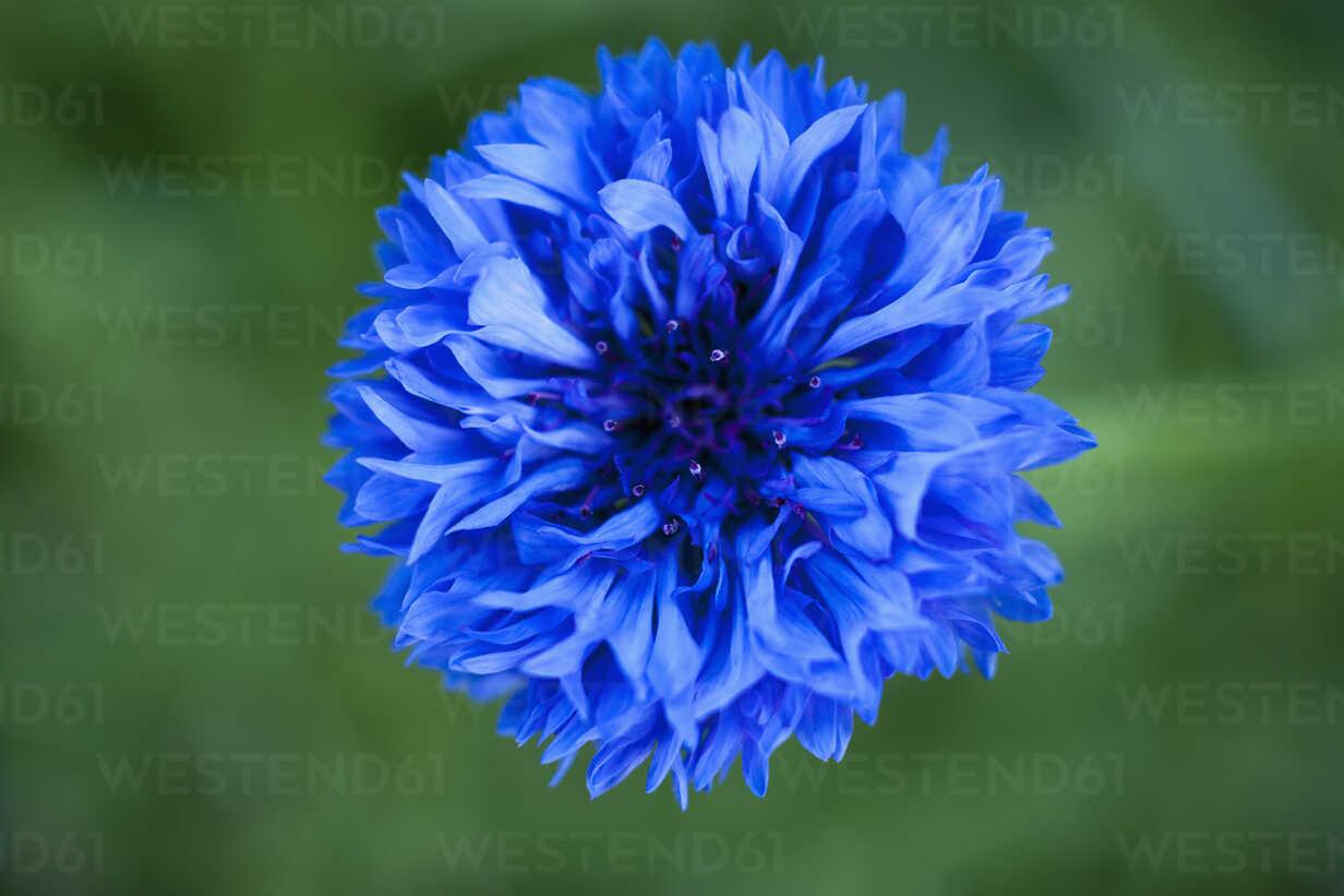 Germany, Bluebottle flower, close up - TCF003193 - Tom Chance/Westend61