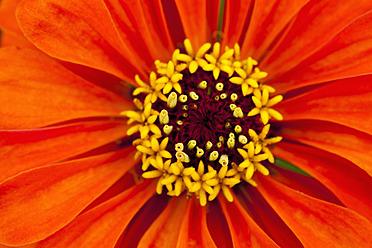 Germany, Zinnia flower, close up - TCF003196