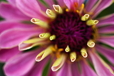 Germany, Zinnia flower, close up - TCF003202