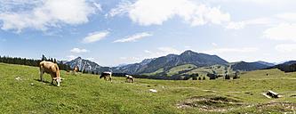 Austria, Cow grazing on alp pasture at Postalm - WWF002606