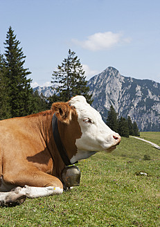 Austria, View of cow sitting on alp pasture at Postalm, Rinnkogel mountain in background - WWF002612
