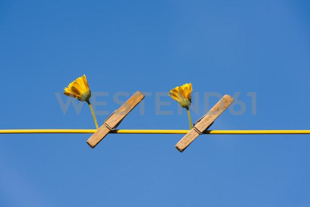 Germany, North Rhine Westphalia, Marigold hanging on washing line - KJF000175
