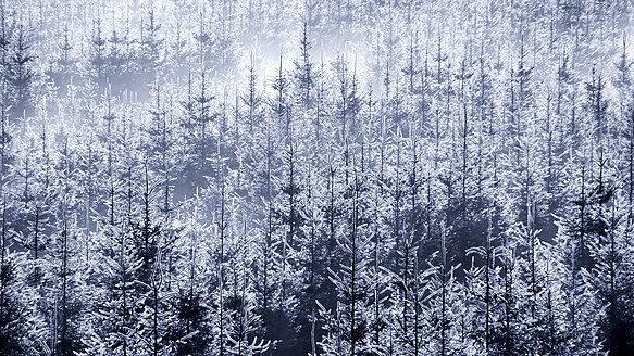 USA, Washington, Fog trees in forest - SMAF000063