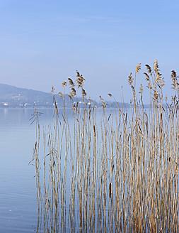 Switzerland, Lachen, Reed at Lake Zurich - HLF000036