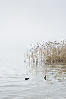 Switzerland, Coots and reed in Lake Zurich - HLF000041