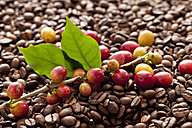 Bean on twig with fresh roasted coffee beans, close up - CSF016254