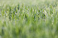 Italy, Grass with dewdrops in morning light, close up - FLF000156