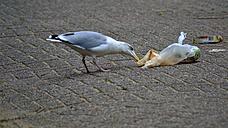 Nerthlands, Herring gull ransacking trash - MH000102