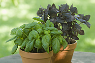 Pot plant of Basil and Red Basil - ASF004818