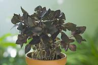 Red Basil in plantpot, close up - ASF004822