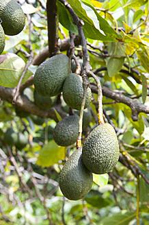 USA, Hawaii, Avocado growing on tree - NHF001332