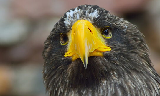 France, Stellers Sea Eagle, close up - JOKF000016