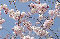 Germany, Bavaria, View of Japanese cherry blossom, close up - CRF002281