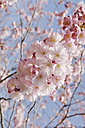Germany, Bavaria, View of Japanese cherry blossom, close up - CRF002282