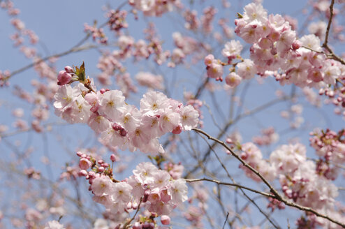 Germany, Bavaria, View of Japanese cherry blossom, close up - CRF002283
