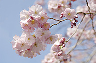 Germany, Bavaria, View of Japanese cherry blossom, close up - CRF002284