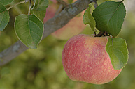 Germany, Bavaria, Apple growing on tree - CRF002291