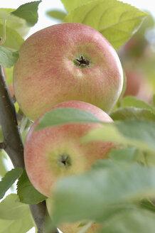 Germany, Bavaria, Apples growing on tree - CRF002293