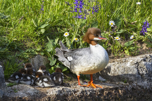 Germany, Bavaria, Goosander with chicks, close up - FOF004786