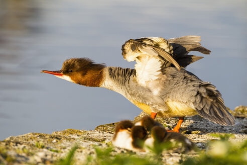 Germany, Bavaria, Goosander with chicks, close up - FOF004790