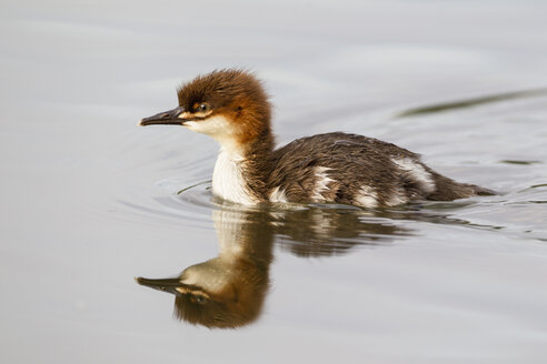 Germany, Bavaria, Goosander chick, close up - FOF004815