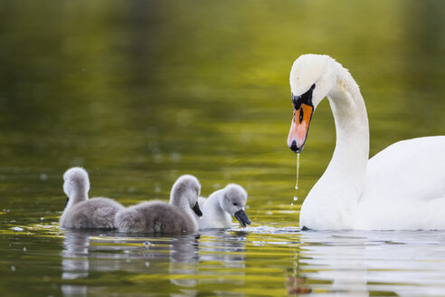 Europe, Germany, Bavaria, Swan with chicks swimming in water - FOF004871