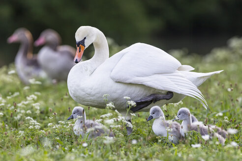 Europe, Germany, Bavaria, Swan with chicks and greylag goose in background - FOF004874