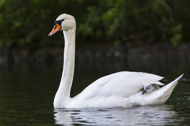 Europe, Germany, Bavaria, Swan with chicks swimming in water - FOF004876