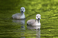 Europe, Germany, Bavaria, Swan chicks swimming in water - FOF004887