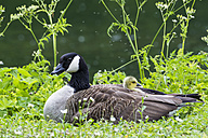 Europe, Germany, Bavaria, Canada Goose with chicks on grass - FOF004899
