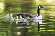 Europe, Germany, Bavaria, Canada Goose with chick on grass - FOF004904