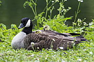 Europe, Germany, Bavaria, Canada Goose with chick on grass - FOF004906